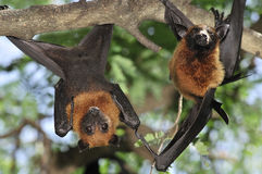 Flying foxes in Thailand Stock Photo