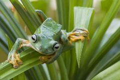 Flying Frog royalty free stock photo