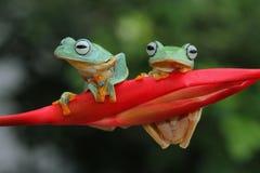 Flying frog on branch, javan tree frog, tree frog. Flying frog on branch, frog stock photos