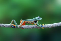 Flying frog on branch, javan tree frog, tree frog royalty free stock photography