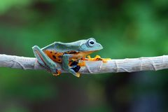 Flying frog on branch, javan tree frog, tree frog stock image