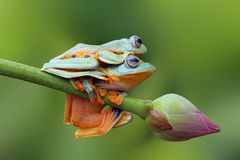 Flying frog on the branch Stock Photos