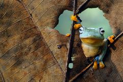 Flying frog, dumpy frog, frogs royalty free stock photography