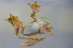 Flying frog royalty free stock images