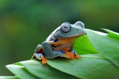 Flying frog on green leaves, javan tree frog, tree frog stock images