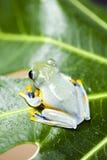 Flying Frog, Rhacophorus reinwardtii Stock Photography