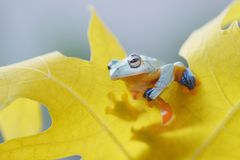 Flying frog stay on yellow leaf. Flying frogs stay on yellow leaf and fulcolor background with bokeh royalty free stock photos