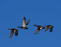 Flying Gadwalls Royalty Free Stock Photo