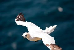 Flying Gannet Stock Image