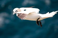 Flying Gannet Stock Images