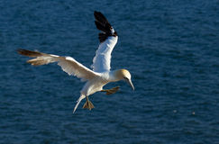 A flying gannet. In Helgoland Stock Photos
