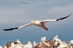Flying gannet Stock Photo