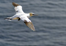 Flying Gannet in Helgoland Royalty Free Stock Photos