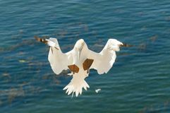 Flying gannet at the Isle of Helogland stock photo