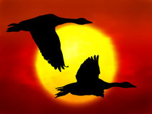Flying geese. Illustration of flying geese on sunset background Royalty Free Stock Photography
