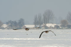 Flying Geese. Two flying geese in a winter landscape Stock Images