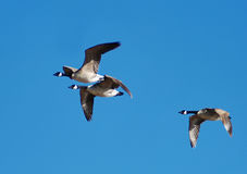 Flying geese Stock Photography