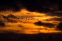 Flying geese. Geese flying at sunset Stock Images