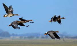 Flying geese Stock Photos