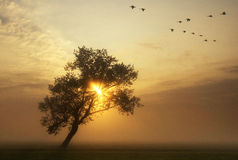 Flying geese above a misty meadow. While the sun rises behind a bended tree Royalty Free Stock Image