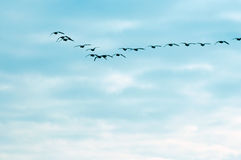 Flying geese against the blue sky. Flying geese in formation of v shape against the blue sky Royalty Free Stock Photos