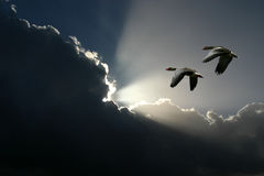 Free Flying Geese And Sunny Clouds Stock Image - 1274051