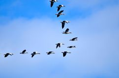 Flying geese Stock Image