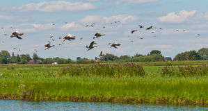 Flying geese in a Dutch landscape Royalty Free Stock Photo