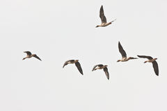 Flying geese royalty free stock images