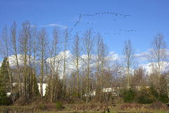 Flying geese formation. Royalty Free Stock Photography
