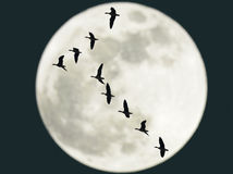 Flying geese with full moon Royalty Free Stock Photo