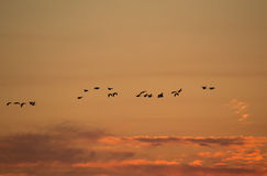 Migrating Geese at Sunset Royalty Free Stock Photography