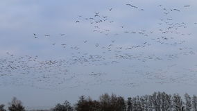 Flying geese over wintry bald trees, Netherlands stock video footage