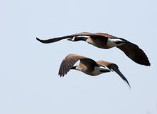 Flying geeses. Pair of flying geeses royalty free stock photo