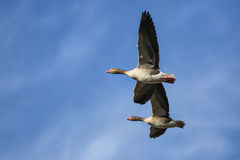 Flying Geeses Royalty Free Stock Image