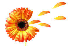 Flying gerber daisy. Lovely colored gerber daisy with flying petals royalty free stock images
