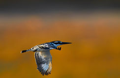 Flying Giant Kingfisher Royalty Free Stock Images