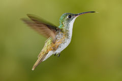 Flying glossy hummingbird from Ecuador, clear green background Royalty Free Stock Image