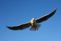 Flying goal seagull Royalty Free Stock Photos