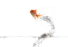 Flying golden fish Stock Images