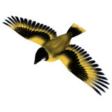 Flying Goldfinch Bird Stock Photo