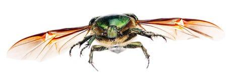 Flying goldsmith beetle isolated on white. Royalty Free Stock Image