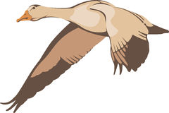 Flying goose. Against transparent background Royalty Free Stock Images