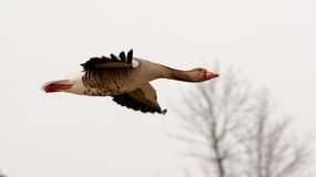 Flying goose. A Greylag good caught in mid flight Royalty Free Stock Images
