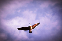 Flying Goose Royalty Free Stock Photo