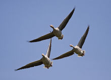Flying goose Stock Photography