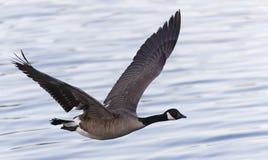 Free Flying Goose Royalty Free Stock Image - 95077866