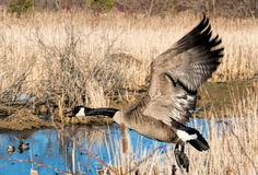 Flying goose Stock Photos