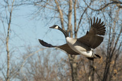 Flying Goose Stock Photos