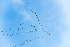Flying goose Royalty Free Stock Image